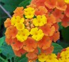 Sonset Lantana Picture