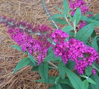 Buzz Magenta Dwarf Butterfly Bush Picture