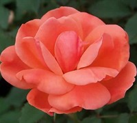 Carefree Celebration Rose Picture