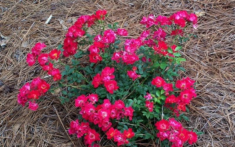 Red Drift Rose Picture