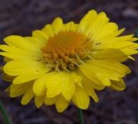 Mesa Yellow Gaillardia Picture