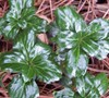 Green Sheen Pachysandra
