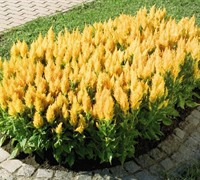 Fresh Look Yellow Celosia Picture