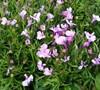 Riviera Lilac Lobelia