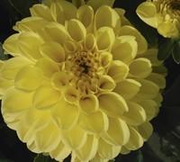 Alabama Dahlia Picture
