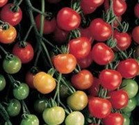 Sweet 100 Tomato Picture