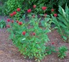 Jacob Cline Bee Balm Picture