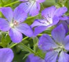 Johnson's Blue Cranesbill Geranium
