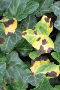 Leaf Spot on English Ivy