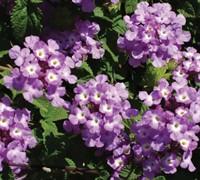Trailing Lavender Lantana Picture
