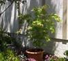 Acer Palmatum-Green