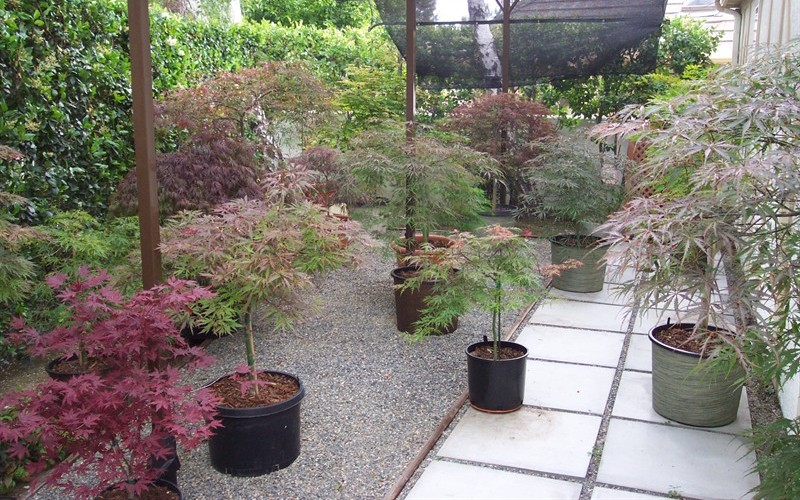 Lovely Japanese Maple Container Garden