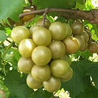 Bronze Muscadines On Vine