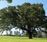Live Oak Tree Picture
