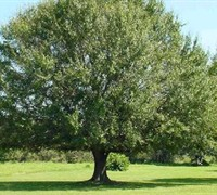 Laurel Oak Tree Picture
