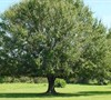 Laurel Oak Tree