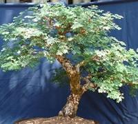 Acacia Burkeii Picture