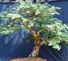 Acacia Burkeii