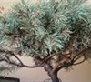Picture about Mugo Pine Losing Needles