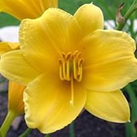Daylily Stella De Oro Bloom