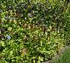 Perennial Plumbago Picture
