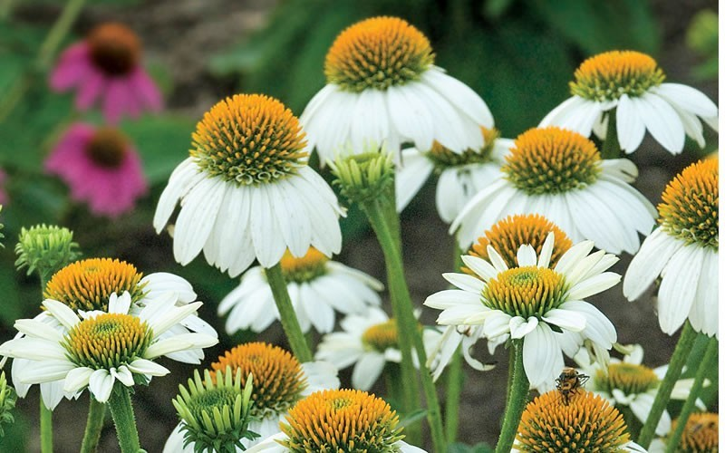 Pow Wow White Coneflower Picture