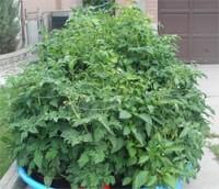 Determinate Tomato Plant