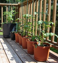 Tomato Plants In Containers