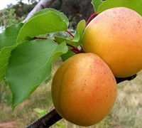 Blenheim Royal Apricot Picture