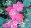 Lipstick Strawberry Plant