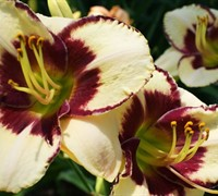 Dream Legacy Daylily Picture