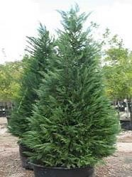 how to care for a living christmas tree - Living Christmas Tree
