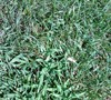 Picture about How To Control Crabgrass And Weeds In Lawns And Beds?