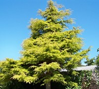 Golden Deodar Cedar Picture