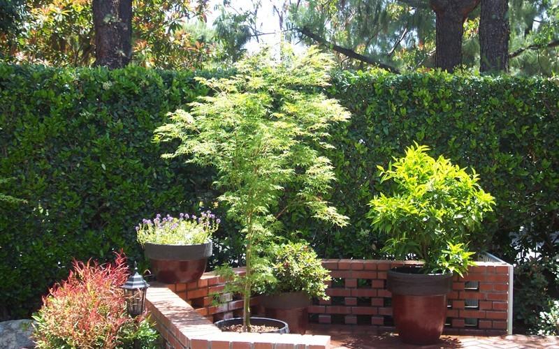 Seiryu Japanese Maple Gardenality
