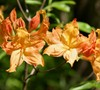 Golden Lights Azalea, Northern Lights Family