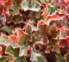 Crimson Curls Heuchera