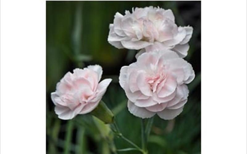Blushing Maiden Dianthus