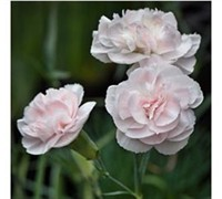 Blushing Maiden Dianthus Picture