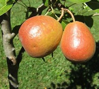 Seckel Pear Picture