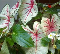 White Queen Caladium Picture