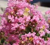 Sweetheart Dazzle Dwarf Crepe Myrtle Picture