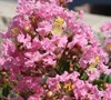 Sweetheart Dazzle Dwarf Crepe Myrtle