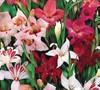 Hardy Gladiolus