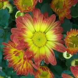Chrysanthemum morifolium 'Dazzling Stacy'