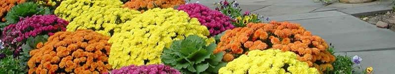 About Fall Garden Mums - Chrysanthemums
