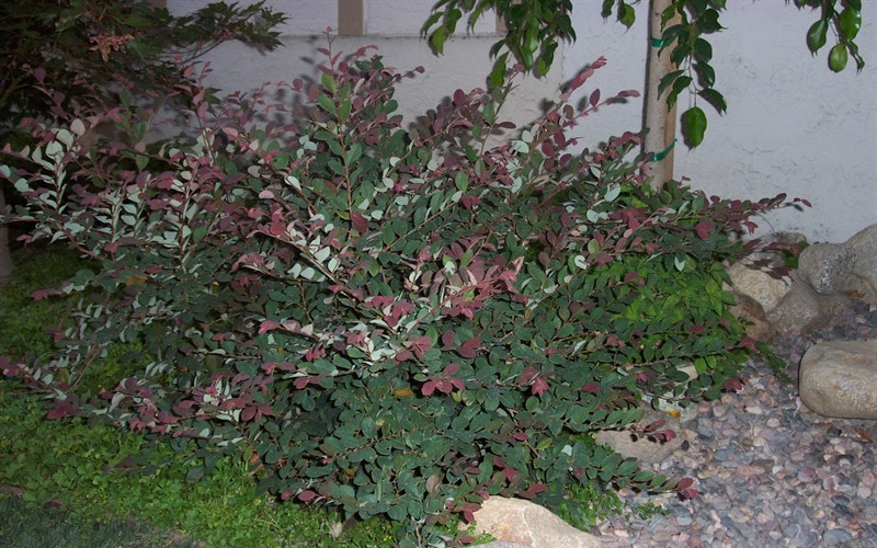 Loropetalum-Plum Delight