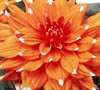 Colour Spectacle Dahlia