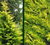 Gold Rider Leyland Cypress Picture