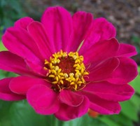 State Fair Mix Zinnia Picture